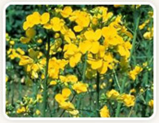 Rapeseed Extraction Flour